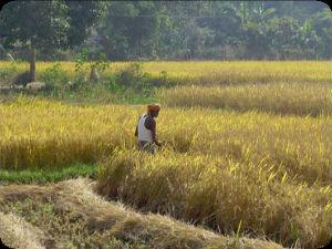 Rice_India_FORWEB