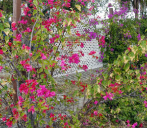 bougainvillea_FORWEB