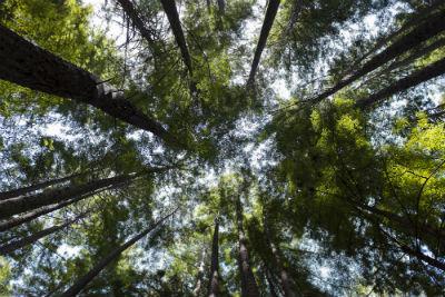 no_cal_trees_forweb